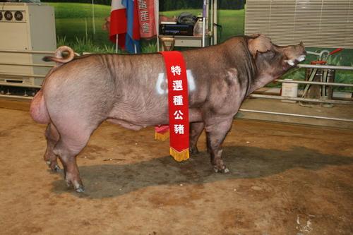 台灣區種豬產業協會10108期D0327-04拍賣相片(高價豬)