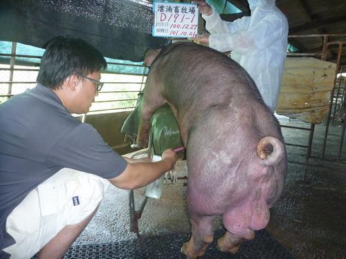台灣區種豬產業協會10109期D0191-01採精相片