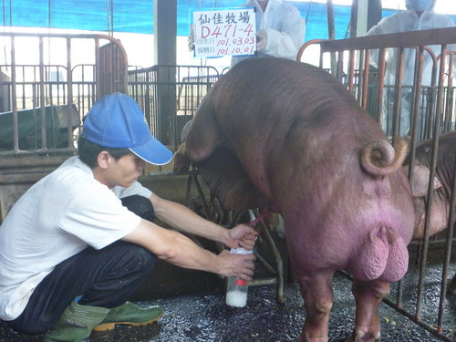 台灣區種豬產業協會10109期D0471-04採精相片