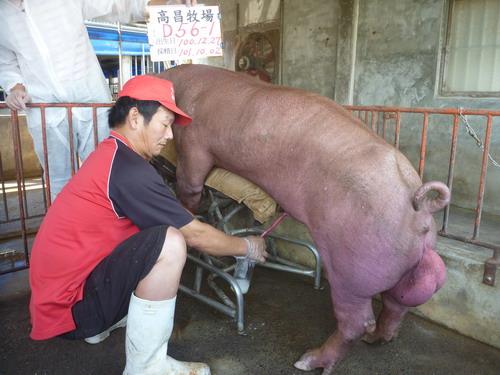 台灣區種豬產業協會10109期D0056-01採精相片