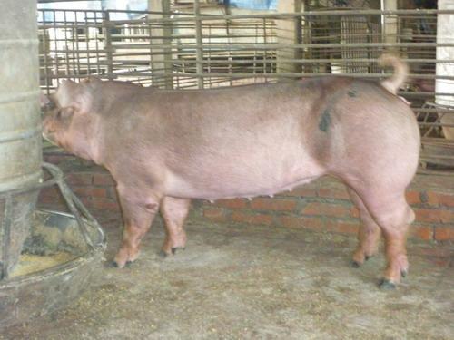 台灣區種豬產業協會10109期D0480-10側面相片