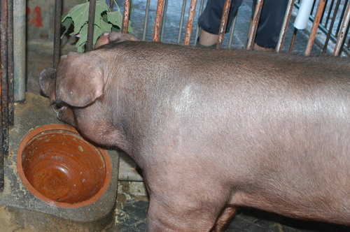 中央畜產會201204期D0415-03體型-頭頸相片