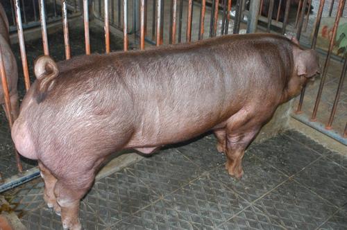 中央畜產會201204期D0643-09體型-全身相片