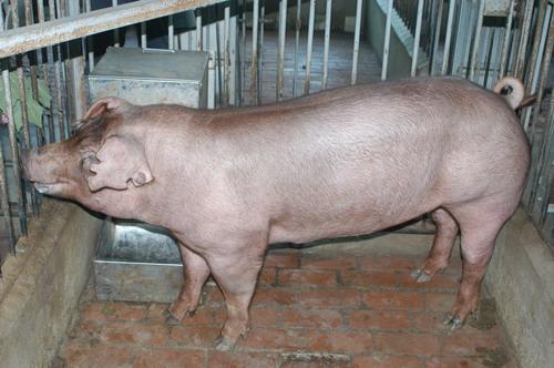 中央畜產會201204期D0479-09體型-全身相片
