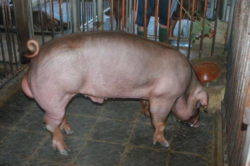 中央畜產會201204期D0480-01體型-全身相片