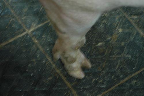 中央畜產會201204期Y0026-01體型-四肢相片