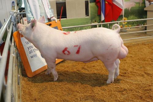 中央畜產會201204期Y0679-10拍賣照片(高價豬)
