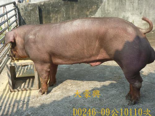 台灣區種豬產業協會10110期D0246-09側面相片