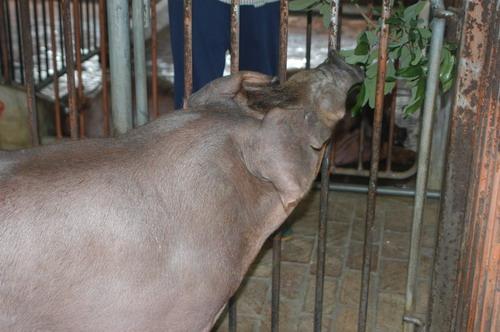 中央畜產會201205期D0633-04體型-頭頸相片