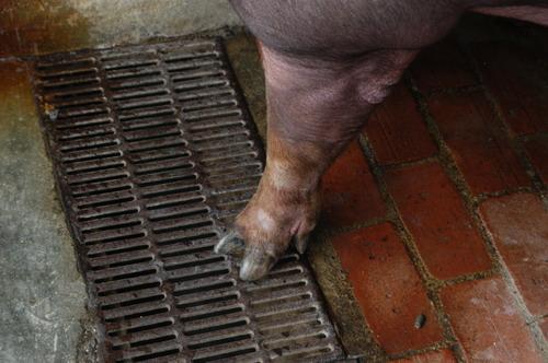 中央畜產會201205期D0634-03體型-四肢相片