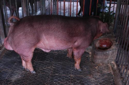 中央畜產會201205期D0634-01體型-全身相片