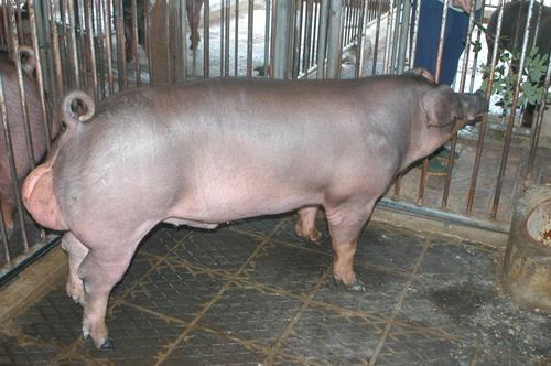 中央畜產會201205期D0633-01體型-全身相片