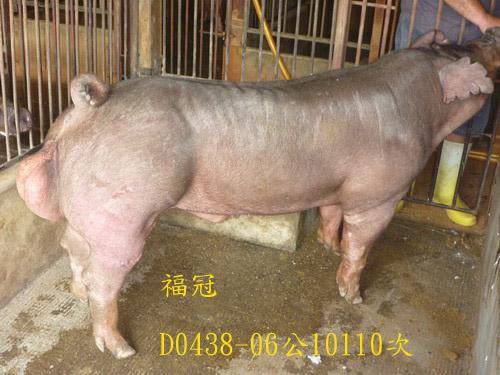 台灣區種豬產業協會10110期D0438-06側面相片