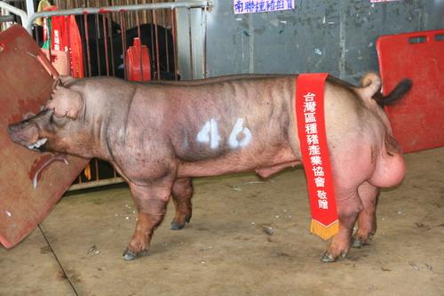 台灣區種豬產業協會10110期D0484-07拍賣相片(高價豬)