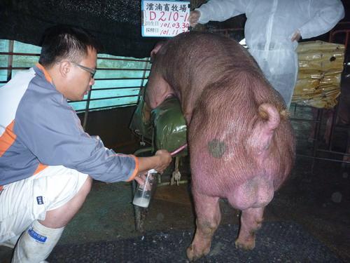台灣區種豬產業協會10111期D0210-01採精相片
