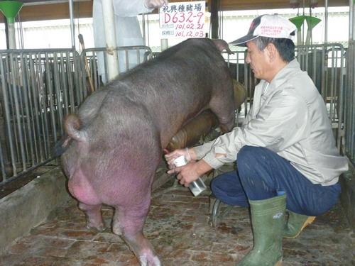 台灣區種豬產業協會10111期D0632-09採精相片