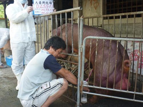台灣區種豬產業協會10111期D0255-11採精相片