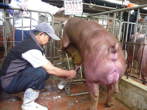 台灣區種豬產業協會10111期D0383-09採精相片