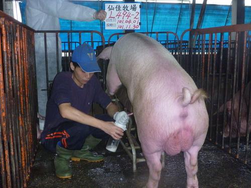 台灣區種豬產業協會10111期L0494-02採精相片