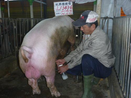 台灣區種豬產業協會10111期L1343-06採精相片