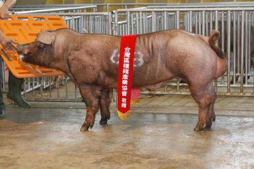 台灣區種豬產業協會10111期D0459-01拍賣相片(高價豬)
