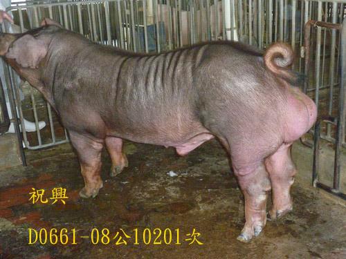 台灣區種豬產業協會10201期D0661-08側面相片