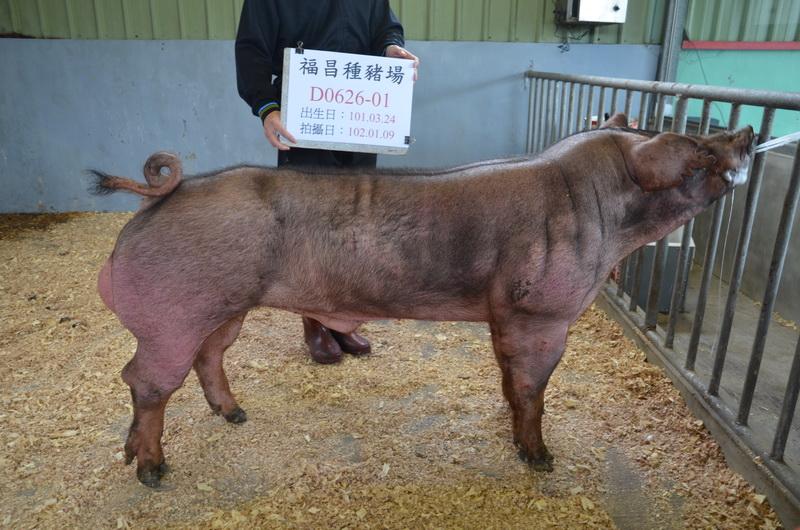 台灣區種豬產業協會10201期D0626-01側面相片