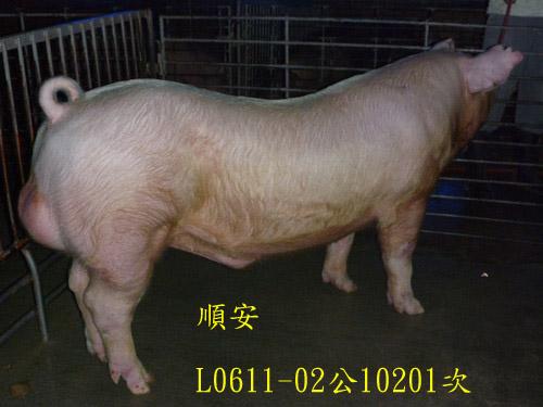 台灣區種豬產業協會10201期L0611-02側面相片