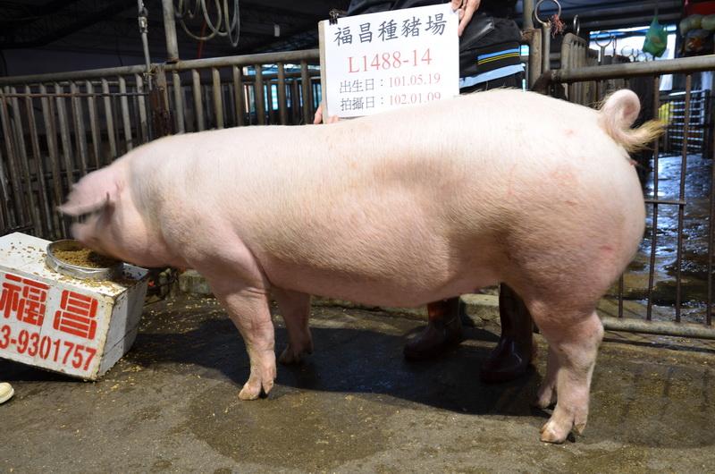 台灣區種豬產業協會10201期L1488-14側面相片