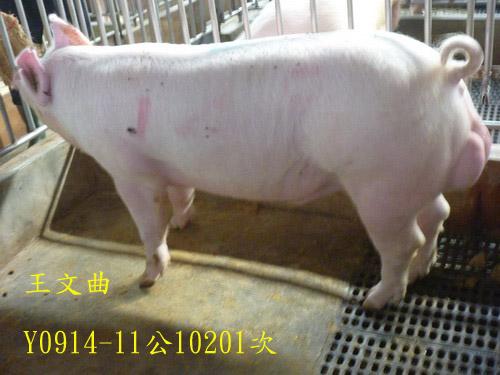 台灣區種豬產業協會10201期Y0914-11側面相片