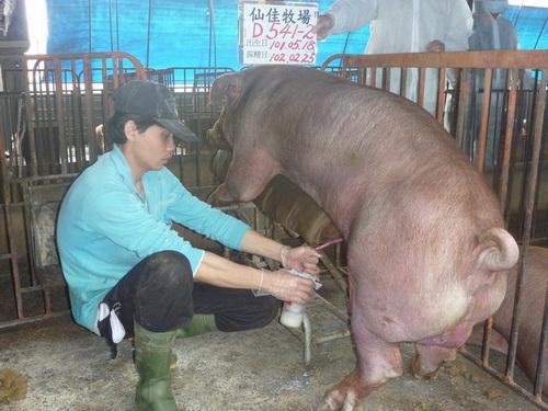 台灣區種豬產業協會10202期D0541-02採精相片