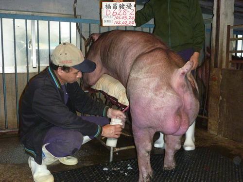 台灣區種豬產業協會10202期D0628-02採精相片