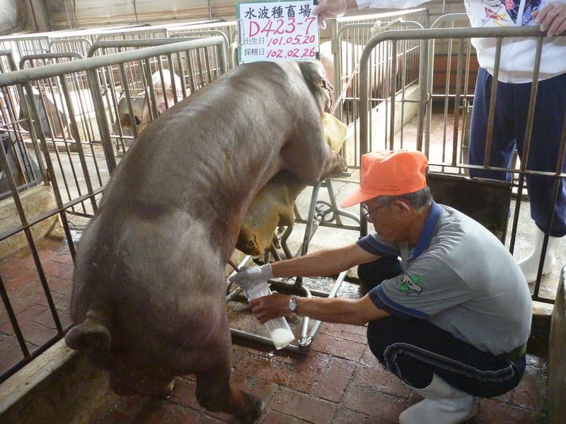 台灣區種豬產業協會10202期D0423-07採精相片
