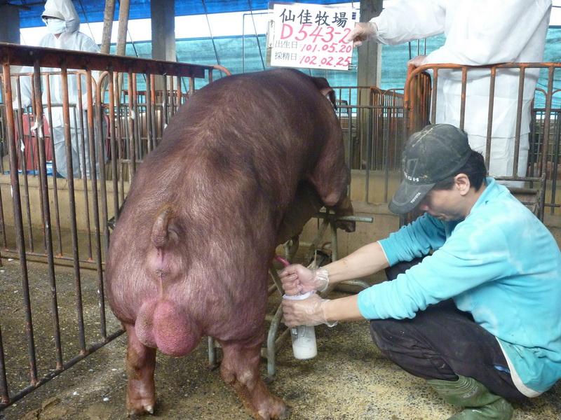 台灣區種豬產業協會10202期D0543-02採精相片