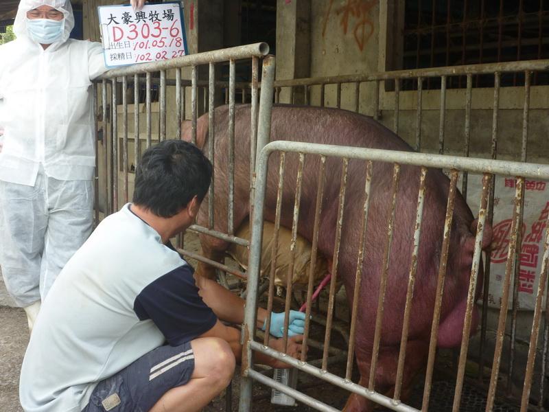 台灣區種豬產業協會10202期D0303-06採精相片
