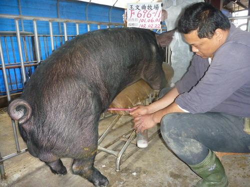 台灣區種豬產業協會10202期F0696-11採精相片