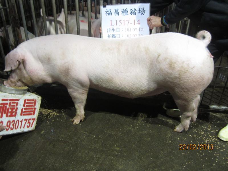 台灣區種豬產業協會10202期L1517-14側面相片