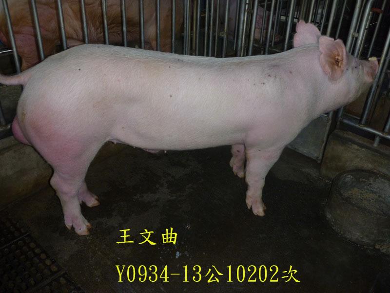 台灣區種豬產業協會10202期Y0934-13側面相片