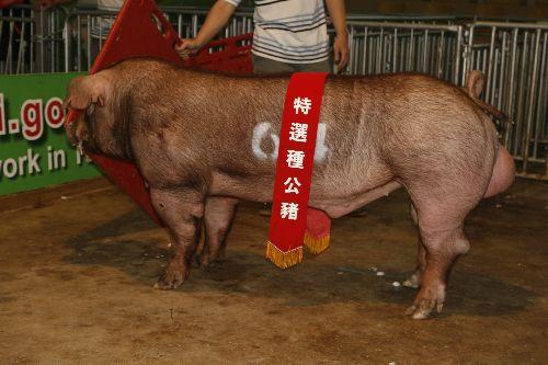 台灣區種豬產業協會10202期D0538-05拍賣相片(高價豬)