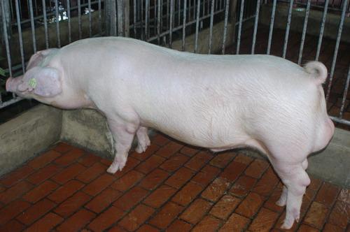 中央畜產會201207期L0233-06體型-全身相片
