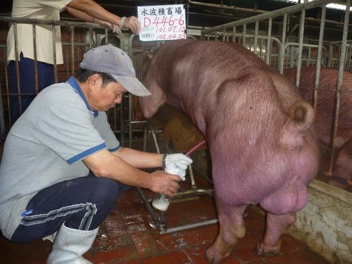 台灣區種豬產業協會10203期D0446-06採精相片