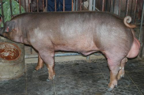 中央畜產會201209期D0661-03體型-全身相片
