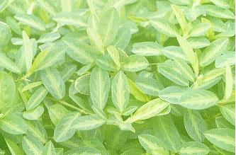 皺果煉莢豆Alysicarpus rugosus (Willd.) DC.
