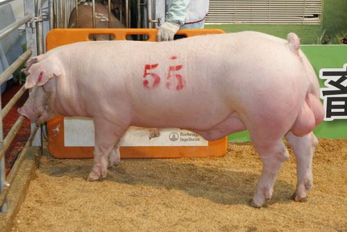 中央畜產會201209期L1544-05拍賣照片(高價豬)