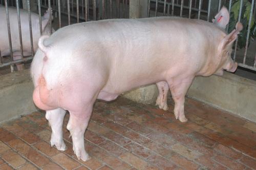 中央畜產會201209期Y0214-02體型-全身相片