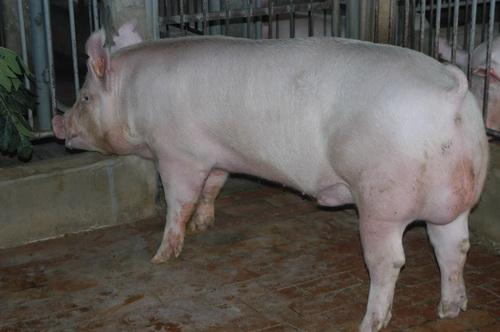 中央畜產會201209期Y0214-04體型-全身相片
