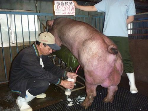台灣區種豬產業協會10203期D0740-06採精相片