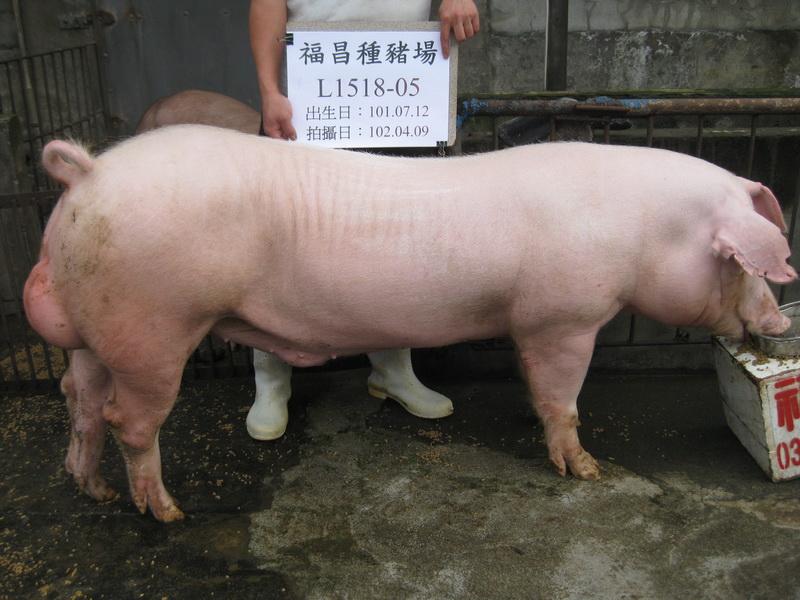台灣區種豬產業協會10203期L1518-05側面相片