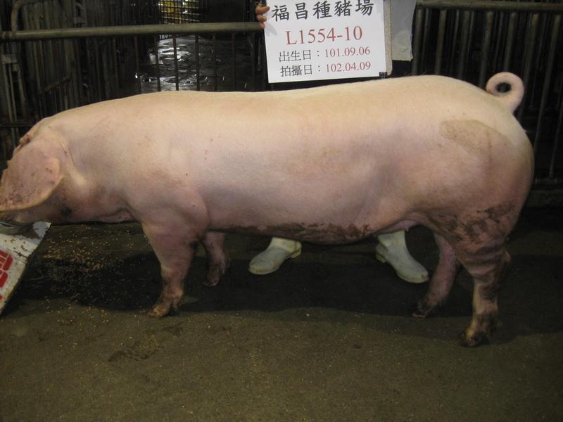 台灣區種豬產業協會10203期L1554-10側面相片