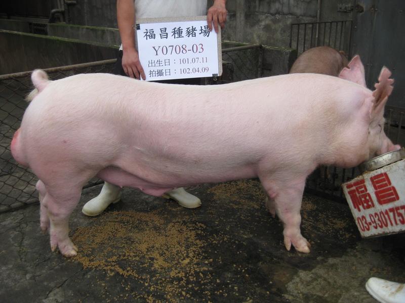 台灣區種豬產業協會10203期Y0708-03側面相片